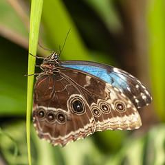 RHS BUTTERFLY 04 (mickyh2011) Tags: close up macro nikon 105 butterfliesrhs