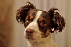 Crystal eyes (R.D. Gallardo) Tags: crystal eyes ojos ojitos cristal buru luna perro dog retrato portrait posado canon eos 6d raw 50mm f14