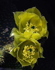 Yellow Cactus Flowers With Green Centers In The Light (Bill Gracey 18 Million Views) Tags: flowers flores fleur color colorful yellow greencenter offcameraflash lastoliteezbox yongnuo yongnuorf603n darkbackground directionallight garden nature naturalbeauty