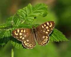 Speckled Wood (Treflyn) Tags: speckled wood butterfly back garden afternoon earley reading berkshire uk