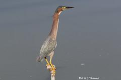 394A8430-LR-Green-Heron (Phil. G. C. Thomas) Tags: greenheron heron bird photographedinpanama