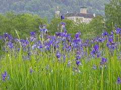 2018-05-16 20-34-01 (C) (turbok) Tags: blauviolett pflanze sibirischeschwertlilieirissibirica wildblumen wildpflanzen c kurt krimberger