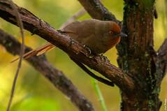 318_4851 (luizclaudiobarboza) Tags: joaobotinadamata mata birds aves