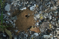 est-ce une abeille solitaire qui fait ce nid? (bulbocode909) Tags: valais suisse nids insectes nature printemps cailloux