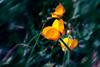 Yellow dream (mártaczuczi) Tags: hungary magyarország flower virág yellow sárga nature természet zöld green czuczimárta fujifilm finepix s3200