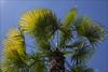 Palmes (afantelin) Tags: montrouge hautsdeseine iledefrance arbre palmier soleil jardin