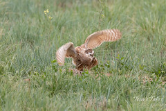 Burrowing Owl mating sequence - 13 of 22