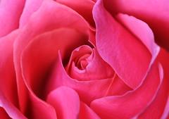 DSC_9284 (PeaTJay) Tags: nikond750 sigma reading lowerearley berkshire macro micro closeups gardens indoors nature flora fauna plants flowers bouquet rose roses rosebuds