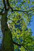 Tallest (jefvandenhoute) Tags: belgium belgië belgique brussels brussel bruxelles noordwijk tree businessdistrict green