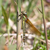 Hairy dragonfly teneral f (Steve Balcombe) Tags: insect dragonfly hairy teneral female odonata anisoptera brachytron pratense westhaymoor nnr somerset levels uk