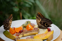 4U6A1912_DxO (marnaotto) Tags: horniman butterfly