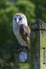 BOB_0766 (www.bobsterphotography.co.uk) Tags: owls barnowl owl