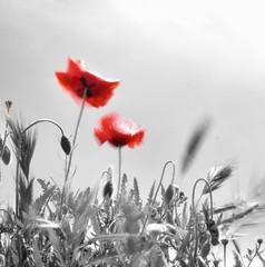 Del viento aprendí a dejarme llevar... (Elena m.d.) Tags: colorselectivo nikon d5600 1855 amapola rojo red paisaje landscape monocromo