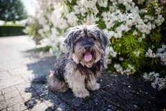 20/52 - My Blossom. (Kirstyxo) Tags: teddy cute dog flowers 2052 52weeksfordogs 52weeksfordogs2018 52weeksfordogs18