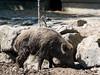 20180521-P1680369 (Dudli Photography) Tags: wildschwein damhirsche murmeltier gems waldkatze peter und paul