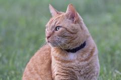 Buddy (DFChurch) Tags: animal wv westvirginia nature buddy cat feline pet orange tabby