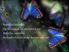 Natalie Imbruglia Butterflies (Channah07) Tags: butterflies song lyrics natalieimbruglia insect music musician words text night blue poetecho postcard