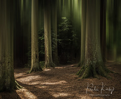 Majesty Woods (PKpics1) Tags: woods woodlands trees forest floor landscape firs pine needles greatwood