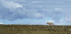 Gray Wolf, Tibet 2017 (reurinkjan) Tags: tibetབོད བོད་ལྗོངས། 2017 ༢༠༡༧་ ©janreurink tibetanplateauབོད་མཐོ་སྒང་bötogang tibetautonomousregion tar damzhungའདམ་གཞུང་།county graywolf canislupus spyangki changkiསྤྱང་ཀི་ tibetanwildlife namtsoགནམ་མཚོ། rodentརི་བོང་དང་སྲེ་མོང་གི་རིགས་ལའང་ཟེར་ribongdangsremonggirigslaangzer wildanimalsརི་སྐྱེས་སྲོག་ཆགསrikyésokchak tibetanplateaumammalsམཐོ་སྒང་གི་གི་གི་འོ་འཐུང་སྲོག་ཆགས་mthosganggigiothungsrogchags