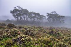 Trees in the Mist (Peter Weckesser) Tags: mist cradlemountainnationalpark places overlandtrack tasmania trees international fog cradlemountain australia au