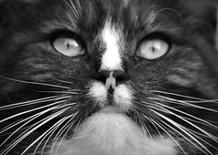 (m_ingel) Tags: cat katze chat schwarzweis bw black white portrait gesicht tier animal