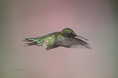 MALE RUBY-THROATED HUMMINGBIRD (Alex Borbely) Tags: malerubythroatedhummingbird birds birdsinflight alexborbely d4