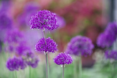_MG_9600 (Bill Gagne Photography) Tags: allium flowers flower purple colors color wallingfordct connecticut canon canonef135mmf2lusm canoneos5dmkll 135mm 135l ef135mm canonef135mm thelook bokeh billsphotos billgagnephotography greens vscofilm vscofilmpreset