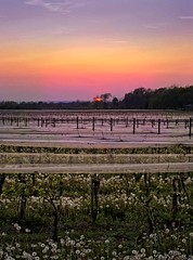 Sunset on the Vineyard (otterman51) Tags: canada flowersplants grimsby landscape niagararegion ontario ortbaldauf tree colours escarpment flora nature niagara niagaraescarpment ortbaldaufcom outdoors photography sky spring summer sun sunset vine vines vineyards