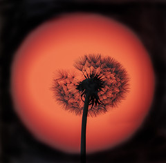 Icarus (Osgoldcross Photography) Tags: dandelion dandelionclock clock seeds seedhead sun sunrise red orsnge bloodred early morning nikon nikond850 d850 raw arty stem spring frickley frickleycountrypark