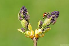 Wandering Alone (Vie Lipowski) Tags: ladybug ladybird ladybeetle insect beetle bug tree shrub plant spring wildlife nature macro