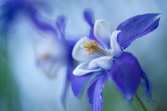 Spring Awakening (j man.) Tags: springawakening cool flower beautiful blossom columbine blue purple details texture color colors light lighting composition macro closeup petals bokeh dof depthoffield jman