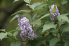 DSC08080 (Old Lenses New Camera) Tags: sony a7r graflex graftar wollensak 103mm f45 plants garden trioptar tree flowers lilac