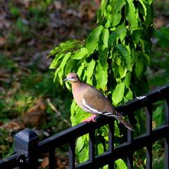 It's De'lovely (austexican718) Tags: texas native fauna centraltexas hillcountry bird animal garden backyard canon eos70d ef70300mm456isusm telephoto ambientlight morning fence rail