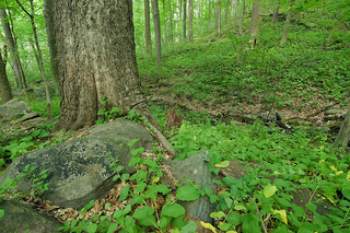 Rich Cove / Mesic Slope Forest at Harpers Ferry NHP