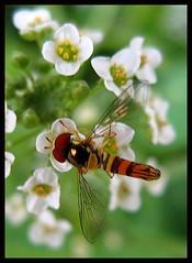 IMG_8008 Pommel Horse Event 7-18-07 (arkansas traveler) Tags: hoverfly bichos bugs insects flowers sweetalyssum macro macrolicious bokeh bokehlicious