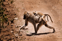 Crossing the road (mdmove1962) Tags: affe africa afrika arushanationalpark fruehjahr move1962 move1962gmxnet michad natur reisefotografie saeugetier tztansania tier tierfotografie umwelt african afrikanisch environment environmental place travelphotography
