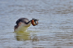Чомга, Podiceps cristatus, Great Crested Grebe (Oleg Nomad) Tags: чомга podicepscristatus greatcrestedgrebe птицы фотоохота москва bird aves moscow