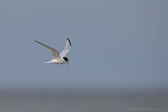 Little Tern (Sternula albifrons) (Allan Dean Photography) Tags: coastal eos canon littletern wild wildbird nature norfolk