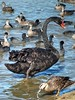 Black Swan - Cygnus atratus (AdamsWife) Tags: cygnusatratus blackswan swan black