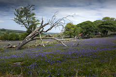 Emsworthy tree (Peter Trott) Tags: emsworthy dartmoor bluebells tree uk england sky moors nationalpark explore