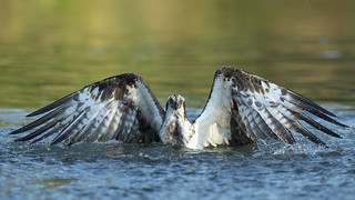 Osprey in the water, this is the moment he caught a fish