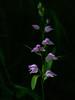 Le printemps reviendra... Spring will return... #darktable #NikonD90 (ImAges ImprObables) Tags: auvergnerhônealpes drôme commune crest flore fleur orchidée céphalanthère céphalanthèrerouge plante lumière darktable nikond90