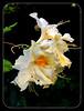 Azalea Blossom (FernShade) Tags: azalea azaleablossom creamazaleaflower blossom flower flora nature shrub macro closeup vancouver tedmarygreigrhododendrongarden stanleypark