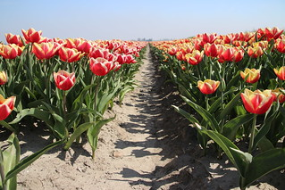 Tulips named