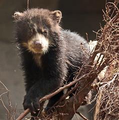 spectacled bear Duisburg BB2A7617 (j.a.kok) Tags: beer bear brilbeer spectacledbear animal mammal zoogdier dier predator babybear bearcub cub