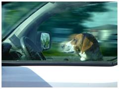Speed (Jean-Luc Léopoldi) Tags: dog driving car conduite voiture chien volant