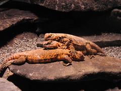 Menage a Trois (skipmoore) Tags: californiaacademyofsciences sanfrancisco reptiles lizards menageatrois