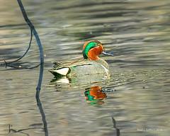 Green Winged Teal (jackalope22) Tags: teal duck green winged male big marsh