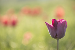 Les tulipes oubliées *-* (Titole) Tags: tulip tulips bokeh shallowdof titole nicolefaton field sunny storybookwinner