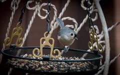 Tufted Titmouse (Dotsy McCurly) Tags: bird tuftedtitmouse eating nuts yard nj newjersey nikond850 nikonafsnikkor200500mmf56eedvr